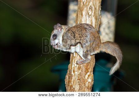 A Southern Flying Squirrel Eating A Peanut