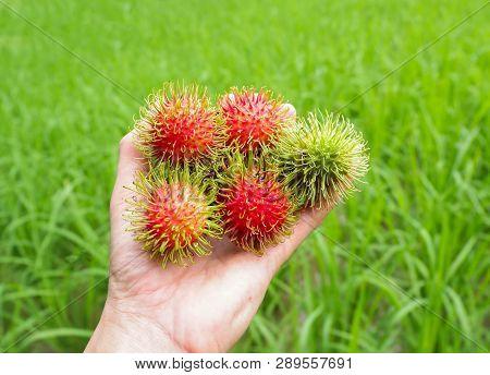 Rambutan In Hand / Man Holding Fresh Rambutans Fruit Harvest From The Garden Tropical Fruit Nature G