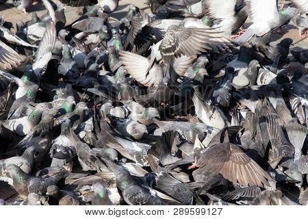 Pigeon's Flock In City