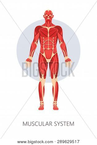Muscular System Isolated Human Body Anatomy Muscles