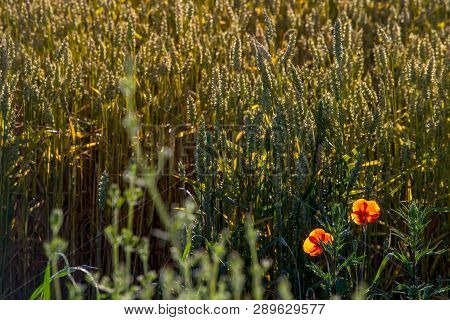 Background Created With A Close Up Of A Cereal Field In Latvia. Poppy In Cereal Field. Growing A Nat