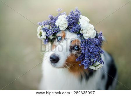 Dog Lies In The Flower. Pet Outdoors In The Spring. Australian Shepherd