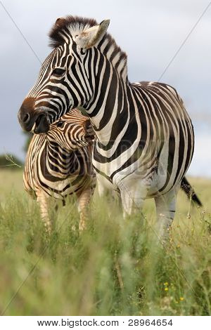 Burchells or plains zebras with one biting the other poster