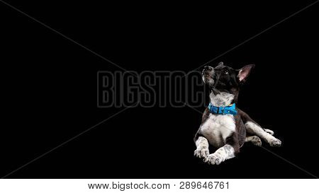 pooch dark dog with white paws in collar isolated on black poster