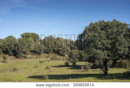Holm Oak Forest, Quercus Ilex Subsp. Rotundifolia, And Mediterranean Pastures Next To The City Of Ce
