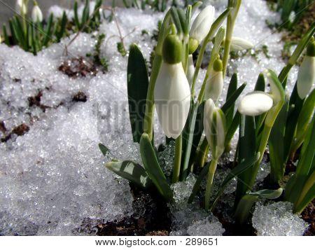 Snowdrop Whit Snow