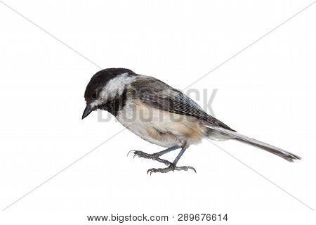 A Full Profile Of A Black-capped Chickadee Immediately Before It Lands. Talons Outstretched, Eyes Lo