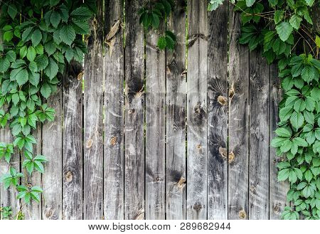 Woody Texture Of Old Boards Surrounded By Leaves Of Wild Grapes. Place For Text.