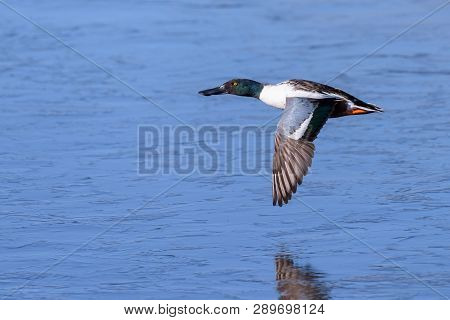 Male Northern Shoveler Duck Flying Above A Frozen Lake