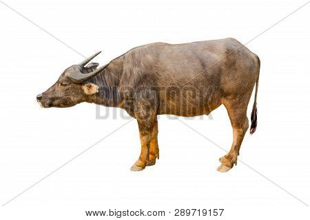Buffalo Isolated On The White Background Thai Buffalo On White Background Buffalo In Thailand