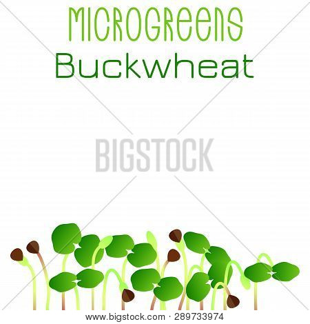 Microgreens Buckwheat. Seed Packaging Design. Sprouting Seeds Of A Plant. Vitamin Supplement, Vegan