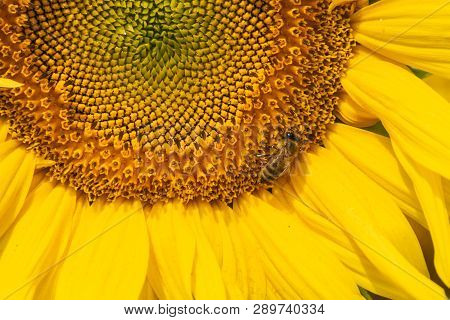 Sunflower Agricultural Background. Close Up Of Sunflower Background. Sunflowers Field In Crop Season
