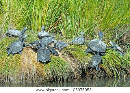 A Large Group Of Diamondback Terrapin Turtles
