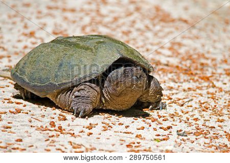 A Snapping Turtle Walking Across Dirt Road