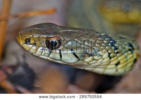 A Close Up Of The Head Of A Garter Snake