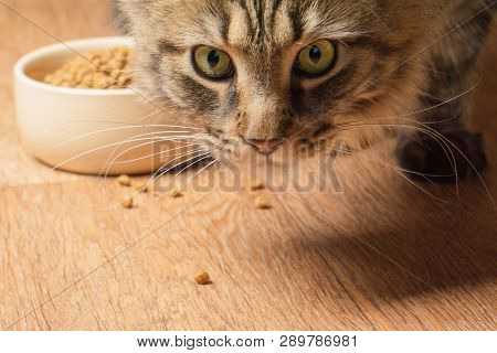 Beautiful fluffy cat sniffs crumbs on the floor. close-up poster