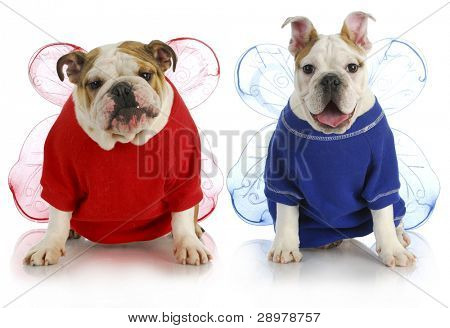 dog angels - two english bulldogs wearing angel costumes