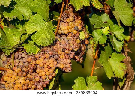 Wine Grapes Before Harvest