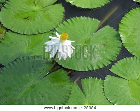 White Sacred Lotus Flower And Leaves