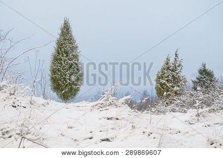 Snowy Juniper Tree In A Field. Winter Landscape