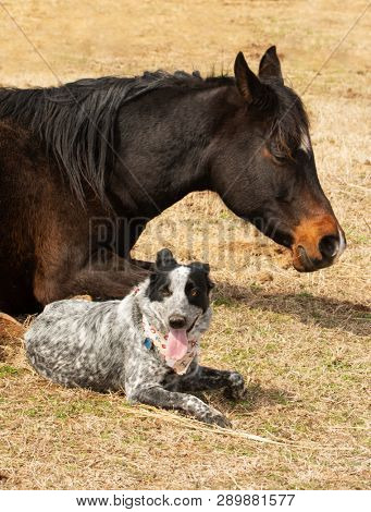 Black and white spotted dog lying down next to her sleeping Arabian horse friend in sunny winter pasture