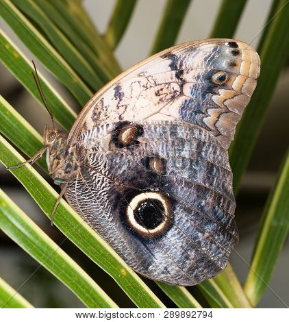 Tropical Owl Butterfly - Caligo Memnon  On The Leaf