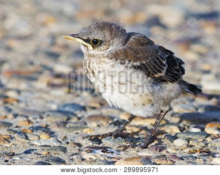 A Baby Northern Mockingbird Standing In The Road