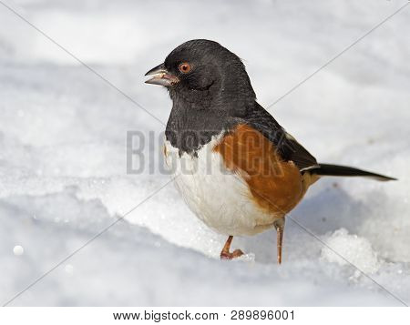 Male Eastern Towhee Standing In The Snow