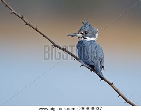 A Belted Kingfisher Sitting On A Branch