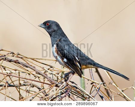 A Male Eastern Towhee Standing In Some Shrubs