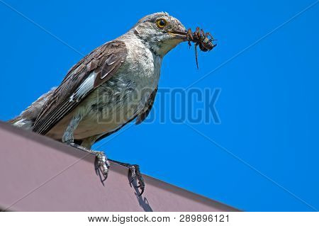 A Juvenile Northern Mockingbird With Bug In Mouth