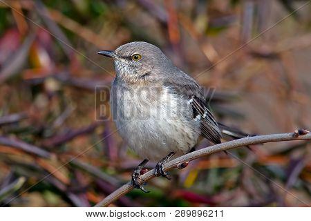 A Northern Mocking Bird Sitting On A Branch