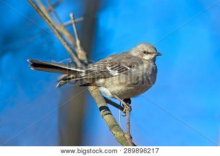 A Northern Mockingbird Sitting on a Branch