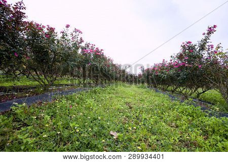 Beautiful Bush Of Pink Roses In A Spring Garden. Flower Field. Field Of Tea Rose. Rose Garden.