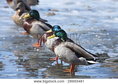 Mallard Ducks Lined Up.