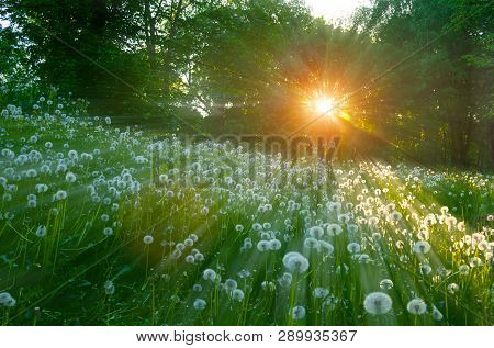 Forest spring landscape - spring trees and white summer dandelions on the foreground under soft sunlight shining through the spring trees