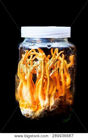 Cordyceps Militaris In Glass Bottles.fresh Cordyceps Militaris In Glass Bottles.