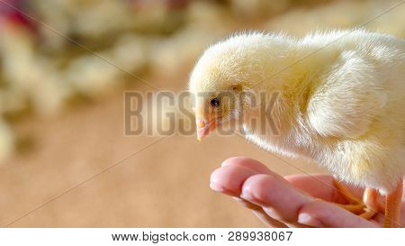 Little Cute Chicken Chick In Hand Of Animal Husbandry