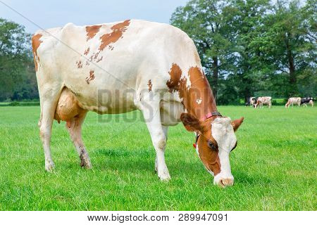 One Dutch Milk Cow Eating Grass In Green Pasture