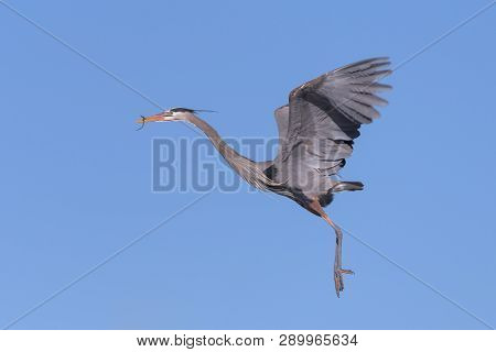 The Great Blue Heron Is A Large Wading Bird Most Commonly Found Near Bodies Of Water. They Can Be Fo