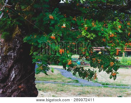 Tree With Vivid Green Leaves And Bright Orange Berries In Daylight