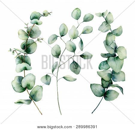 Watercolor Silver Dollar Eucalyptus Set. Hand Painted Baby, Seeded And Silver Dollar Eucalyptus Bran