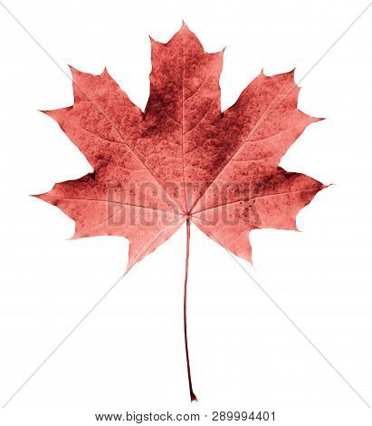 Pink Or Colar Maple Leaf Isolated White Background. Beautiful Autumn Maple Leaf Isolated On White. F