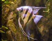 freshwater angelfish, very popular fish in aquaculture, tropical fish from the amazon basin poster