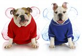 dog angels - two english bulldogs wearing angel costumes poster