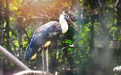 White - Woolly necked stork bird on farm in the wildlife sanctuary / Ciconia episcopus poster