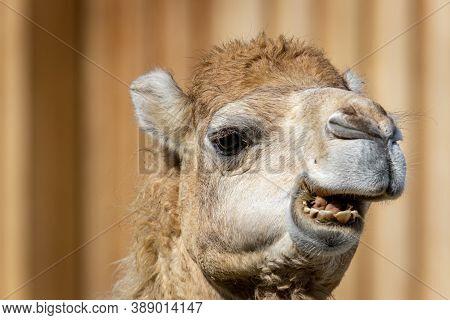 Dromedary Or Somali Or Arabian Camel (camelus Dromedarius) Portrait