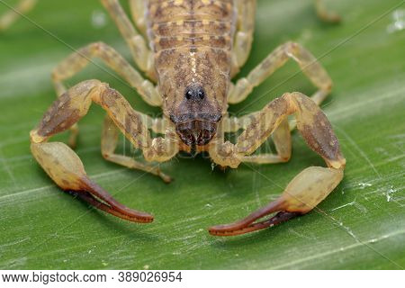 Close Up Macro Yellow Or Brown Scorpion On Green Leaf. Small Animal Is Poisonous Reptile In The Tail
