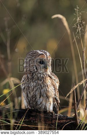 The Tawny Owl Or Brown Owl (strix Aluco) Sitting On The Branch. Owl Sitting On A Low Branch In The T