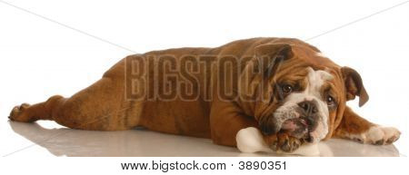 Bulldog With Dog Bone